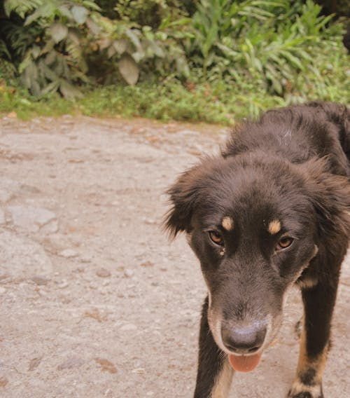 Free stock photo of big dog, brown dog, brown eyed dog, cute dog