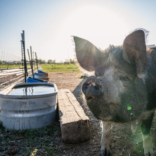 Hairy domestic pig in village against cloudless blue sky