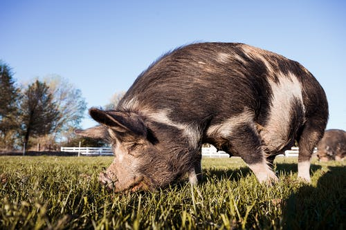 Side view of spotted hairy Kunekune pig sniffing green grass while grazing in paddock against cloudless blue sky