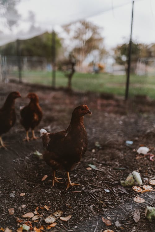 High angle flock of domestic chickens standing on ground in enclosure of poultry
