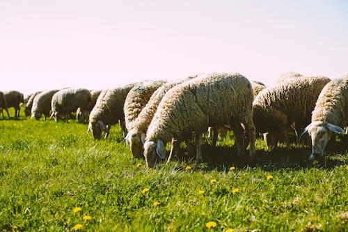 Gratis stockfoto met akkerland, baby schapen, beest, boerderij