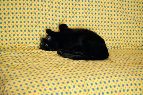 Photos gratuites de animal de compagnie, chat noir, couleurs, félin