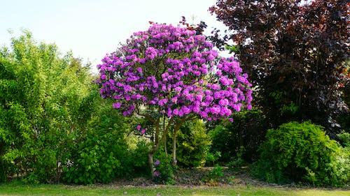 Ingyenes stockfotó angol örökség, bedfordshire, fa, lila témában