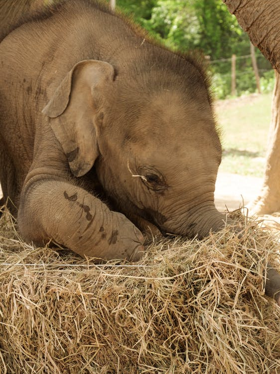 Brown Elephant on Brown Hay