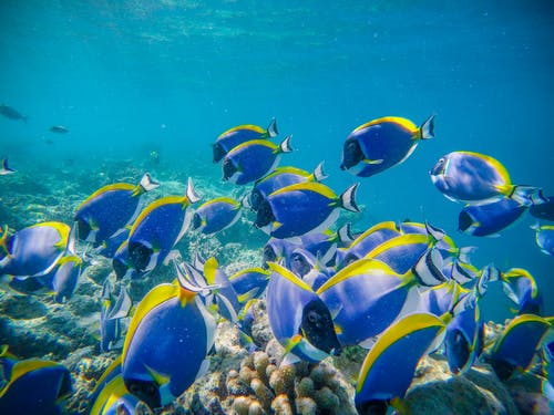 Shoal of exotic blue surgeonfishes swimming in transparent clean water of sea in tropics