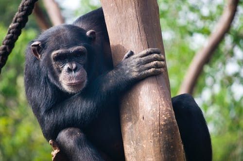Chimpanzee on a Tree Trunk