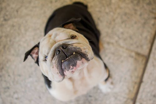 Funny purebred dog sitting on floor