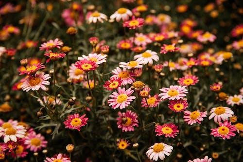Vibrant Argyranthemum on flowerbed in daylight