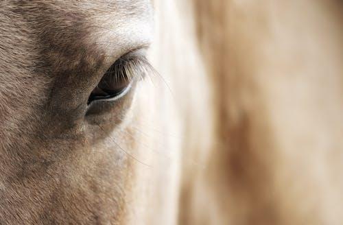 Gratis stockfoto met beest, blik, boerderij, bruin