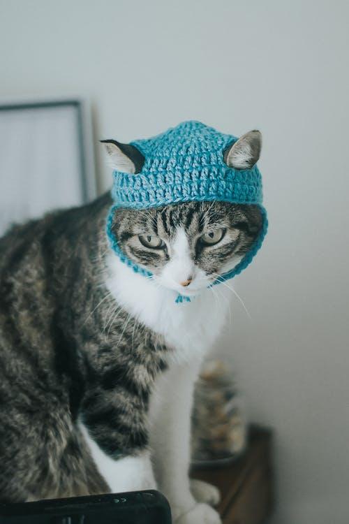 Brown Tabby Cat Wearing Blue Knit Cap