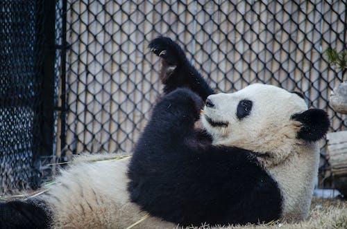 Panda Bear in Cage