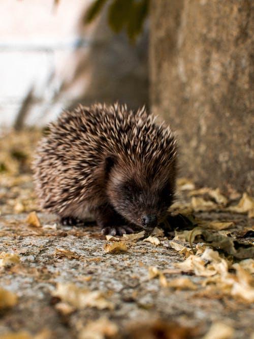 Brown Hedgehog on Brown Dried Leaves