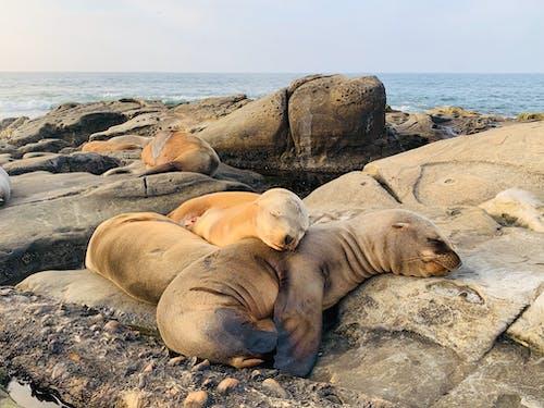 Adorable seals sleeping on rocky seashore