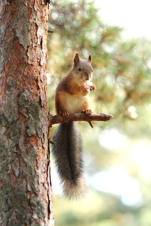 Free stock photo of pine, squirrel