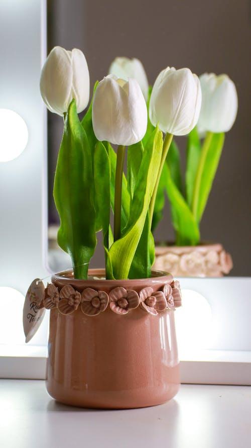 Fresh white tulips in ceramic pot
