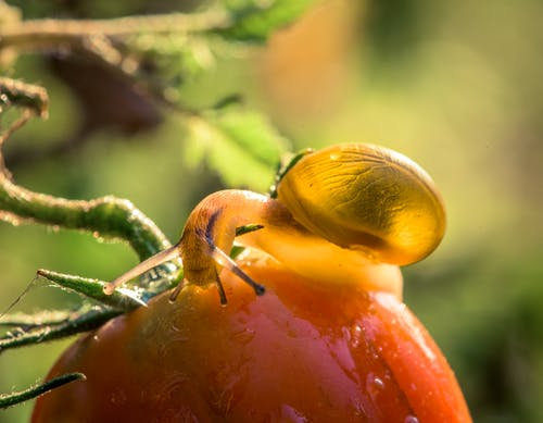 Free stock photo of garden, macro, snail, tomato