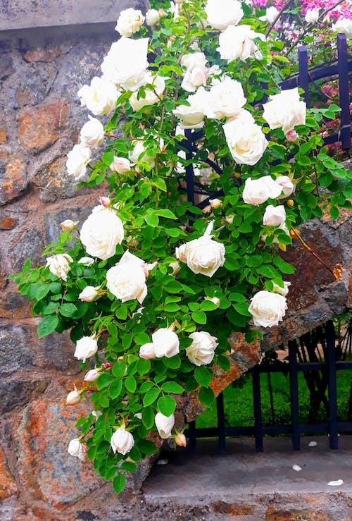 Ảnh lưu trữ miễn phí về có thể, hoa hồng, Hoa hồng trắng