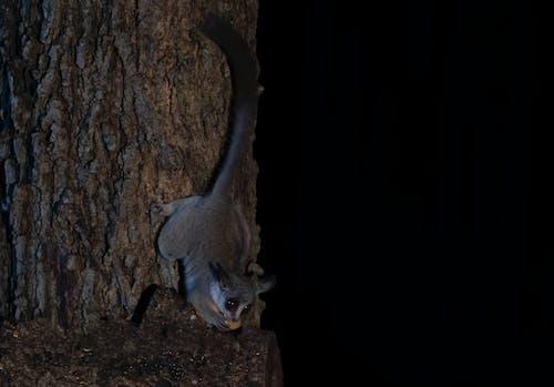 Foto d'estoc gratuïta de animal nocturn, bushbaby, safari, vida salvatge salvatge