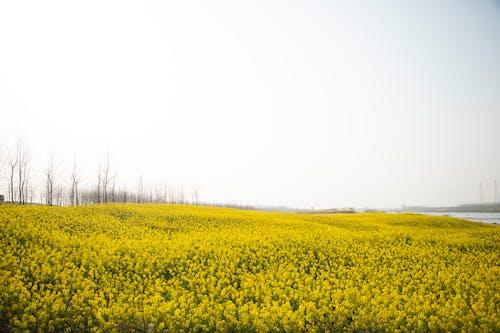 Бесплатное стоковое фото с за городом, зерновые, лето