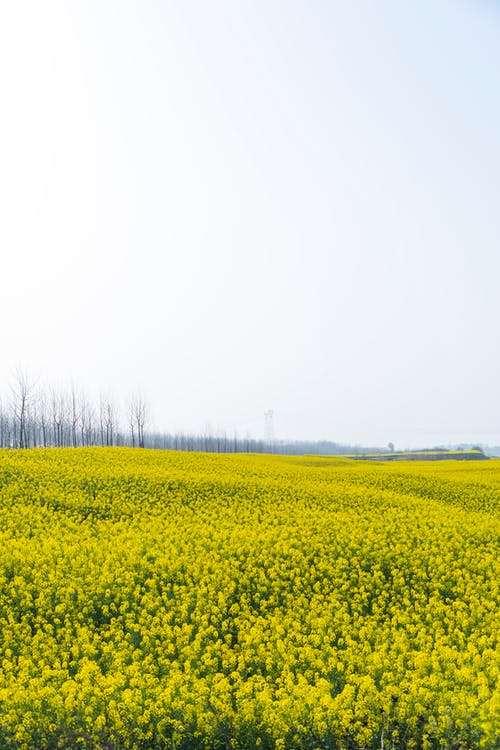 Yellow Flower Field Under White Sky