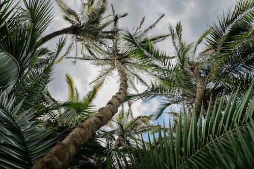 คลังภาพถ่ายฟรี ของ การถ่ายภาพมุมต่ำ, การเจริญเติบโต, ต้นปาล์ม, ต้นไม้