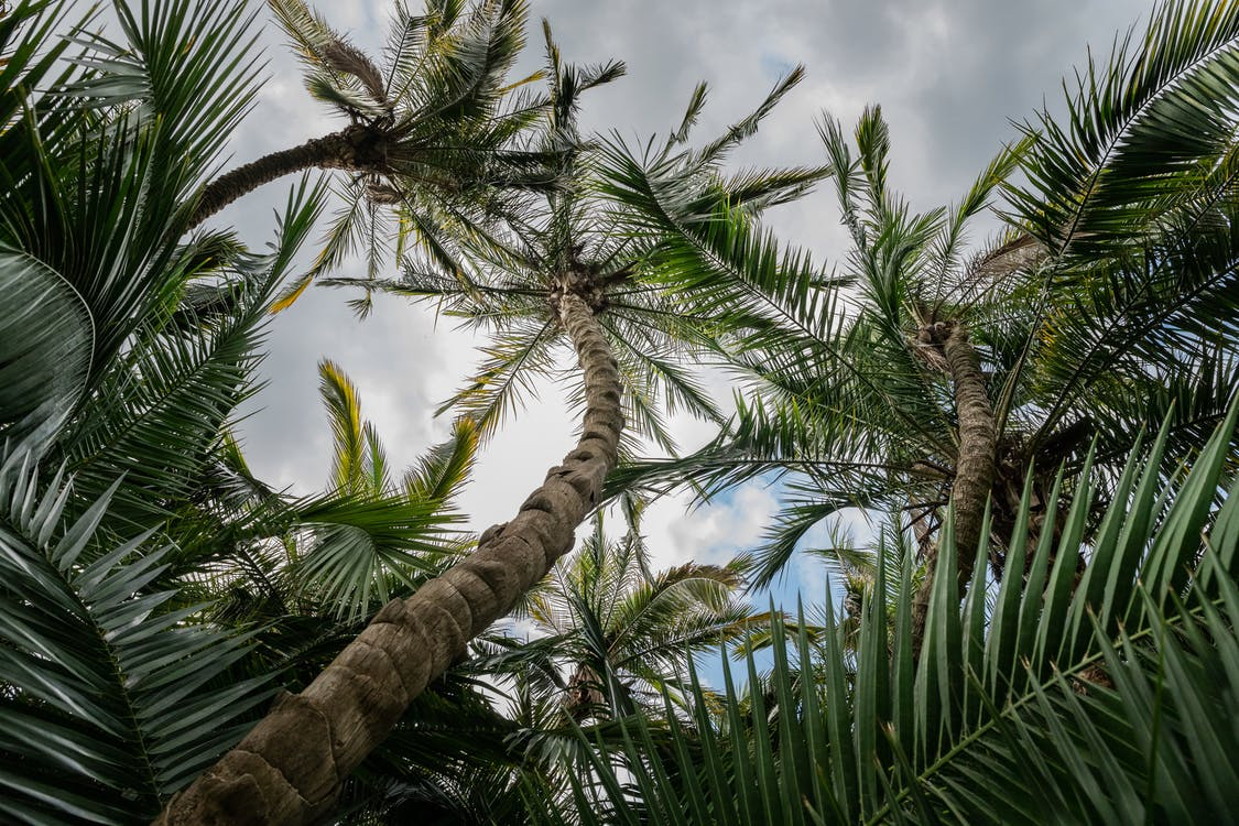 Low Angle Photo of Green Palm Trees