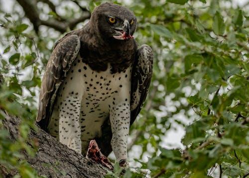 Foto d'estoc gratuïta de àguila, ala, animal, arbre