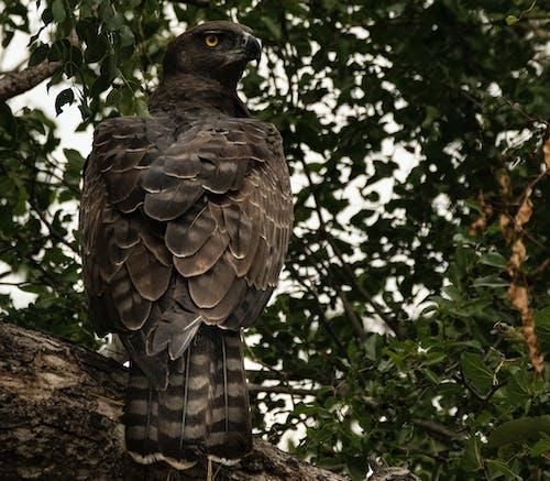 Foto d'estoc gratuïta de àguila, au, eagle marshal, ocell