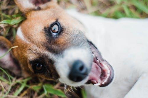 Jack Russel terrier on grass in lawn