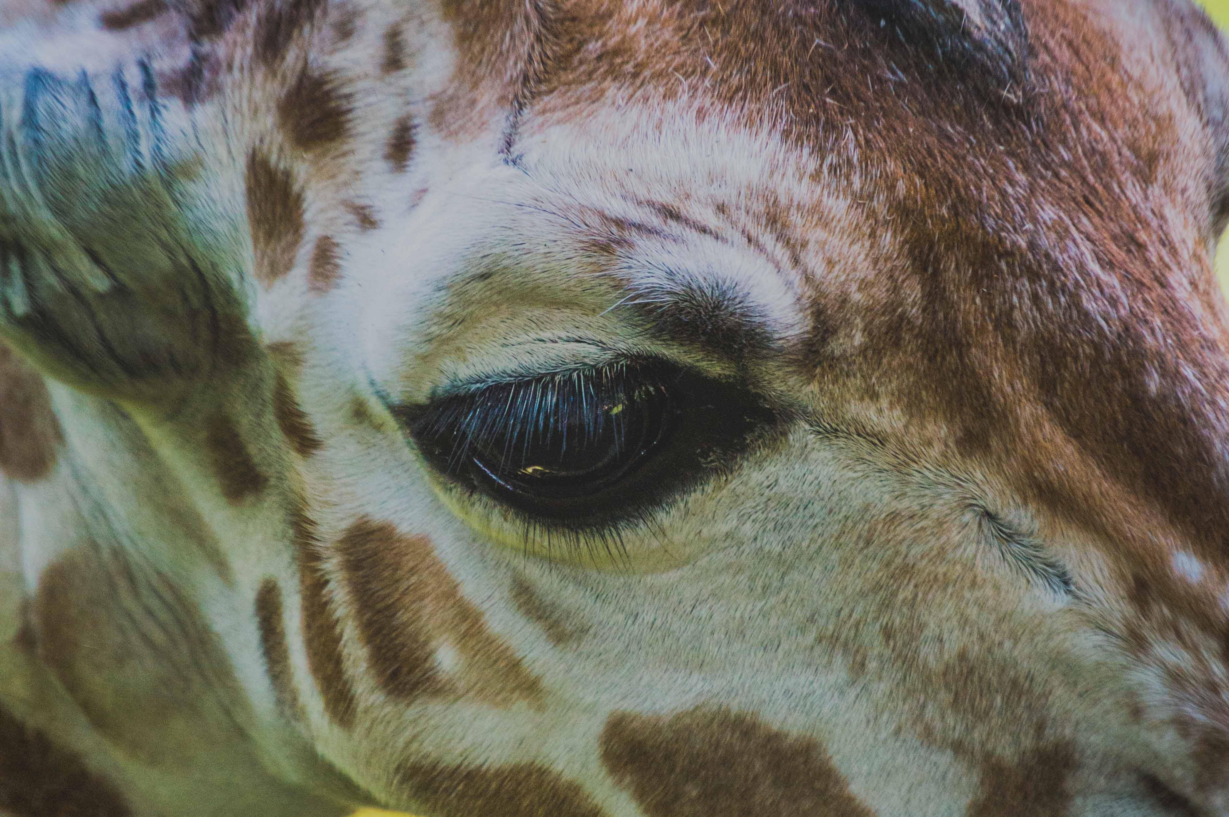 Free stock photo of animals, baby, baby giraffe, big eyes