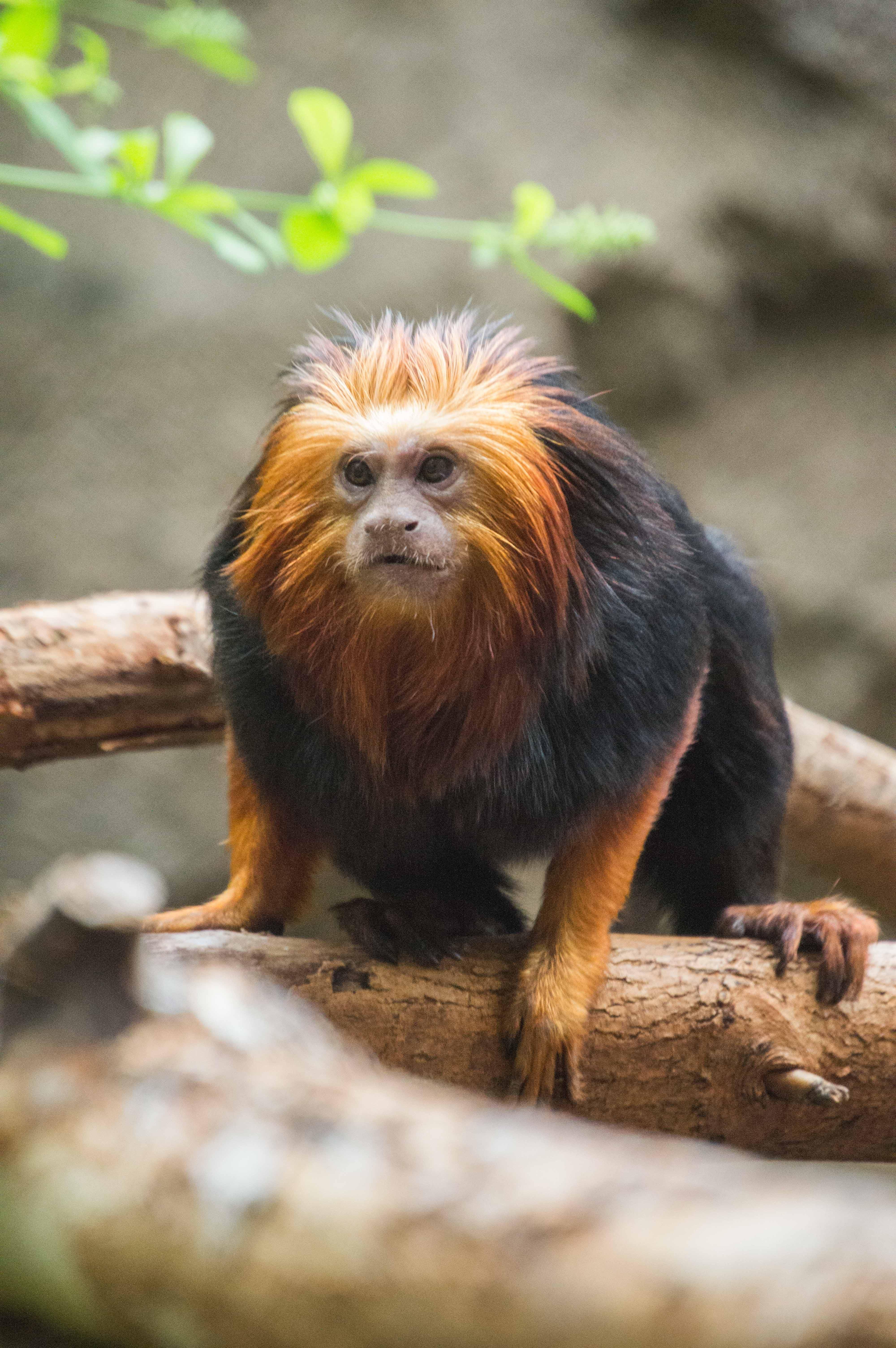 Free stock photo of animals, black monkey, golden-headed lion tamarin, monkey