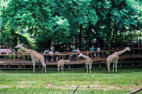 Δωρεάν στοκ φωτογραφιών με nikon, εξωτικά ζώα, ζώα ζωολογικών κήπων, καμηλοπαρδάλεις