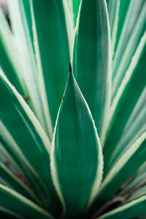 Colorful leaves of Yucca in daylight