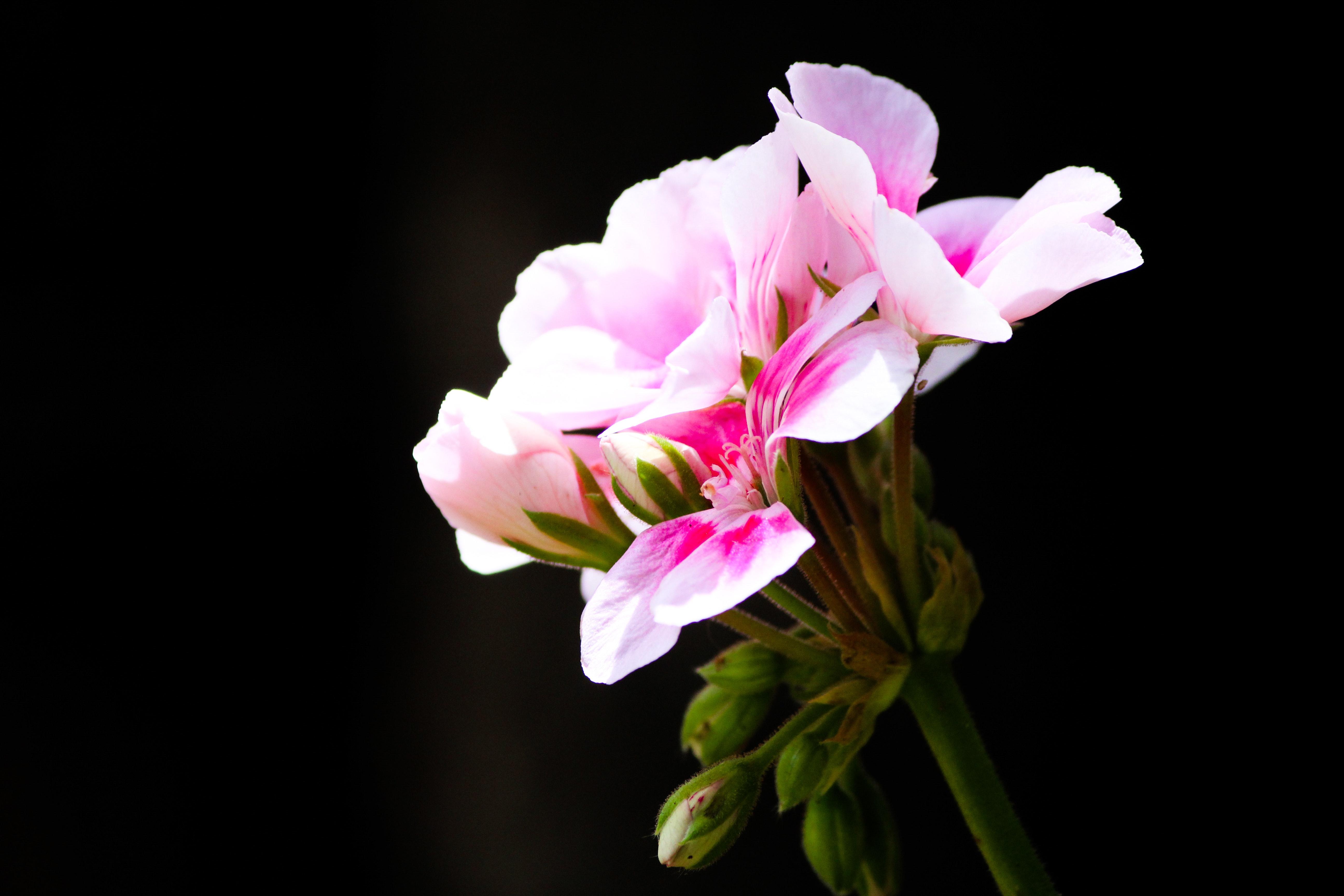 Free Stock Photo Of Background Beautiful Flowers Beauty