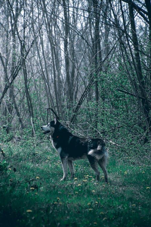 Бесплатное стоковое фото с большой, волк, волк обои
