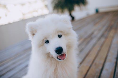 Cute fluffy Samoyed dog with white fur sitting on wooden terrace and looking at camera