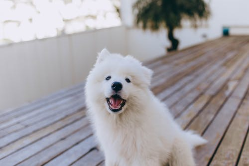 Adorable Samoyed dog with white fur sitting on wooden terrace and looking at camera