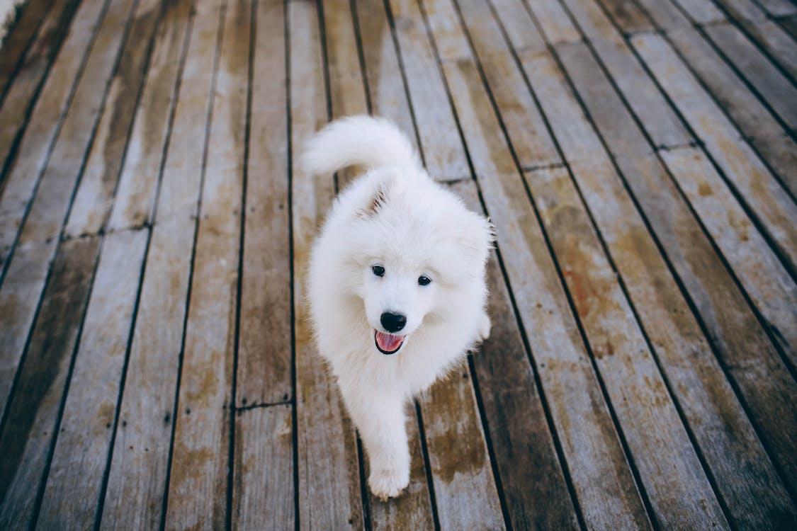 Samoyed Puppy Walking on Wooden Flooring