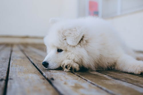 White Long Coated Dog on Brown Wooden Floor