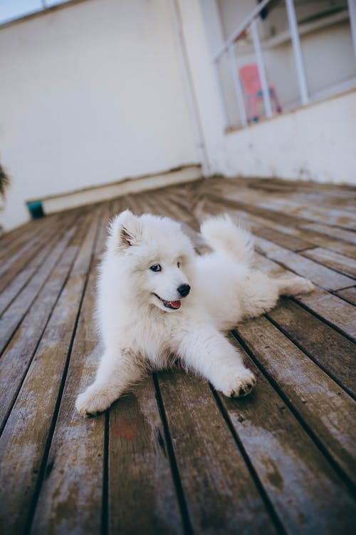 White Long Coated Small Sized Dog on Brown Wooden Floor