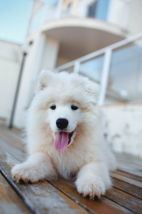 White Long Coated Puppy on Wooden Floor
