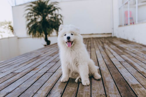 White Long Coated Small Dog on Brown Wooden Floor