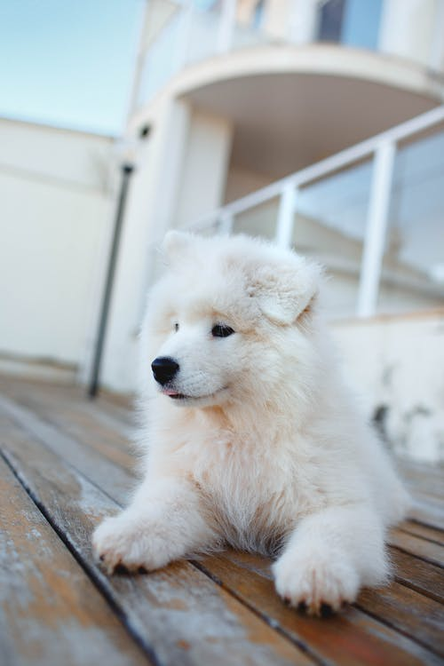 White Long Coated Puppy on Brown Wooden Floor