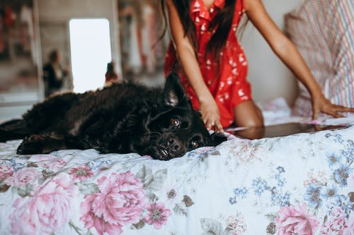 Black Dog Lying on White and Pink Floral Bed