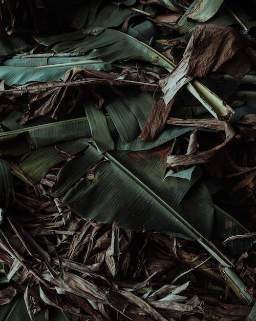 Green Banana Leaf on Brown Dried Leaves