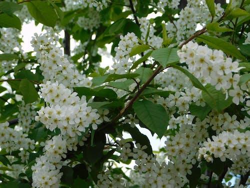 คลังภาพถ่ายฟรี ของ ช่อดอกเล็กสีขาว