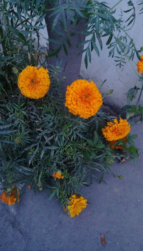 Free stock photo of beautiful flowers, marigold