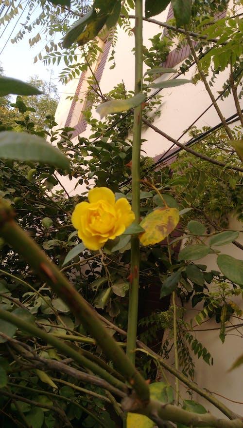 Free stock photo of rose, yellow flower