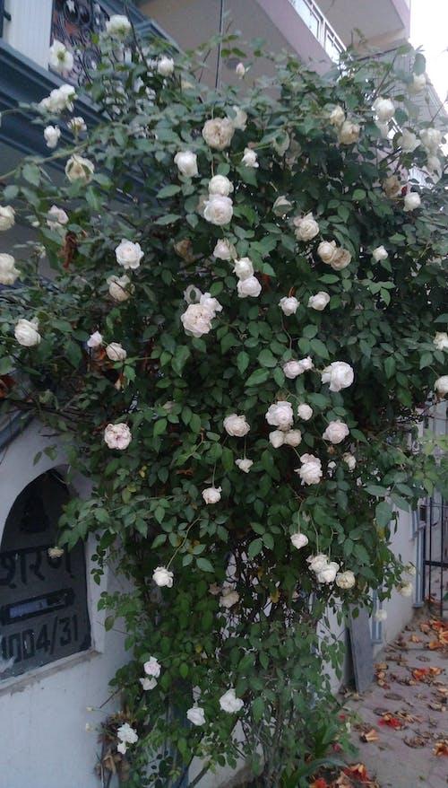 Free stock photo of Pink Rose, rose