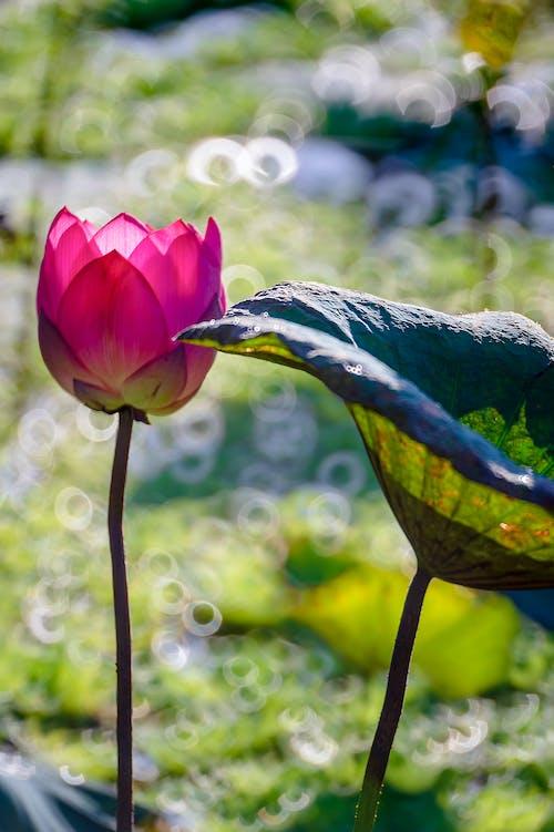 Бесплатное стоковое фото с вода, красивый, лепесток